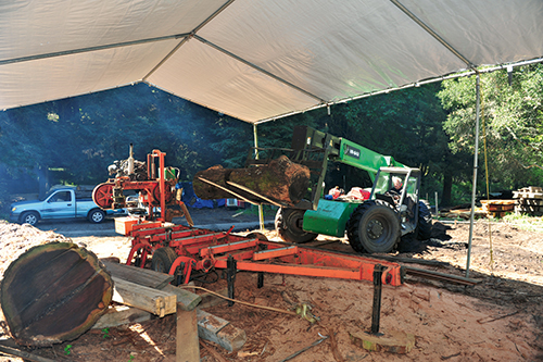 Loading a large walnut log into a saw mill with a forklift